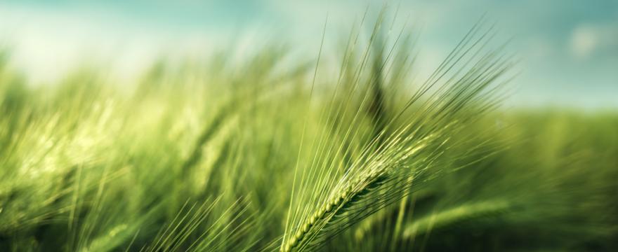 Learning about Aviv Barley