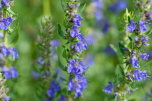 Hyssop bush blssoming